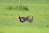環頸雉 Common Pheasant:A23P1586.jpg
