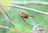 枌紅鸚嘴 Vinous-throated Parrotbill:A23P5997.jpg