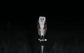 草鴞Grass Owl:A23P0098.jpg