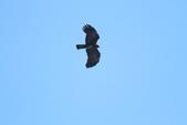 林鵰 Indian Black Eagle:IMG_1222.JPG