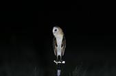 草鴞Grass Owl:A23P0343.jpg
