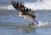 魚鷹 Osprey 捕魚:IMG_0889.jpg