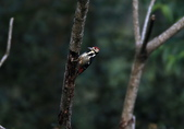 大翅啄木 White-backed Woodpecker:A23P8648.jpg