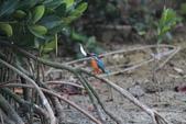 翠鳥 Common Kingfisher:IMG_4992.JPG