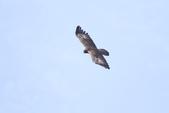 林鵰 Indian Black Eagle:IMG_0381.JPG