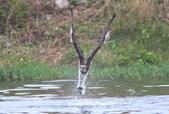魚鷹 Osprey 捕魚:IMG_0435.JPG