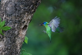 五色鳥:A23P0527.jpg