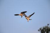 黑翅鳶 Black shouldered kite:A23P0849.JPG