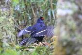 黑長尾雉 Mikado Pheasant:A23P0531.JPG