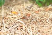 枌紅鸚嘴 Vinous-throated Parrotbill:A23P6011.jpg