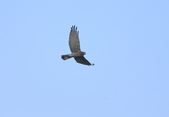 灰面鵟鷹 Grey-faced Buzzard:A23P3224.jpg