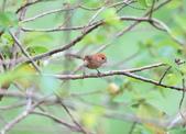 枌紅鸚嘴 Vinous-throated Parrotbill:A23P6086.jpg
