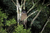 褐林鴞 Brown Wood Owl:A23P7686.JPG