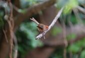 枌紅鸚嘴 Vinous-throated Parrotbill:A23P6376.jpg