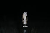 草鴞Grass Owl:A23P0060.jpg