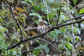 鵂鶹Collared owlet:A23P9030.jpg