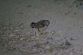 短耳鴞 Short-eared Owl:A23P0005.jpg