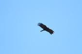 林鵰 Indian Black Eagle:IMG_1228.JPG