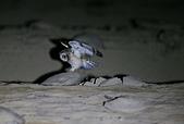 短耳鴞 Short-eared Owl:A23P0293.jpg