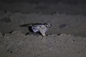 短耳鴞 Short-eared Owl:A23P0373.jpg