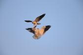黑翅鳶 Black shouldered kite:A23P0855.JPG