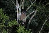 褐林鴞 Brown Wood Owl:A23P7762.JPG
