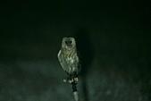 草鴞Grass Owl:A23P6971.jpg