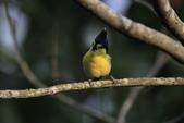 黃山雀 Yellow Tit:IMG_9274.JPG