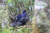 黑長尾雉 Mikado Pheasant:A23P0532.JPG