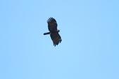 林鵰 Indian Black Eagle:IMG_1237.JPG
