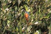 翠鳥 Common Kingfisher:IMG_5823.JPG