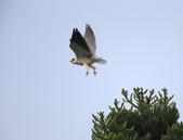 黑翅鳶 Black shouldered kite:A23P2112.jpg