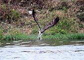 魚鷹 Osprey 捕魚:IMG_0437.jpg