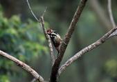 大翅啄木 White-backed Woodpecker:A23P8788.jpg