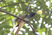 亞洲綬帶 Asian Paradise-flycatcher:IMG_2632.JPG