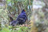 黑長尾雉 Mikado Pheasant:A23P0533.JPG