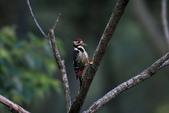 大翅啄木 White-backed Woodpecker:A23P8849.jpg