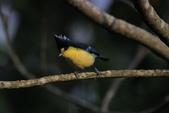 黃山雀 Yellow Tit:IMG_9281.JPG