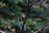 大翅啄木 White-backed Woodpecker:A23P8973.jpg