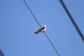 黑翅鳶 Black shouldered kite:IMG_1691.JPG
