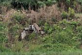 2012 魚鷹 Osprey:IMG_1269.jpg