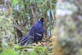 黑長尾雉 Mikado Pheasant:A23P0540.JPG