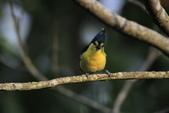 黃山雀 Yellow Tit:IMG_9288.JPG