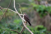 灰面鵟鷹 Grey-faced Buzzard:A23P2656.jpg