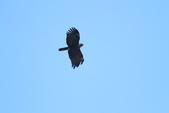 林鵰 Indian Black Eagle:IMG_1240.JPG