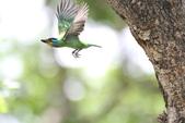 五色鳥:IMG_1702.JPG