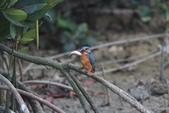 翠鳥 Common Kingfisher:IMG_5004.JPG