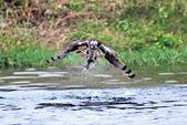魚鷹 Osprey 捕魚:IMG_0436.jpg