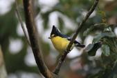 黃山雀 Yellow Tit:IMG_9305.JPG