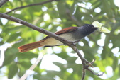 亞洲綬帶 Asian Paradise-flycatcher:IMG_2638.JPG